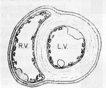 Heart Cross Section